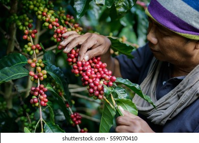 man harvests arabica coffee berries
