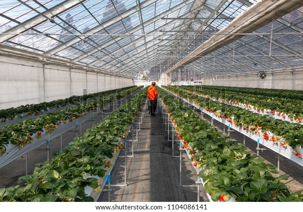 a man havesting Strawberry during harvest season. Big fresh red and green  Strawberry in a nursery farm.