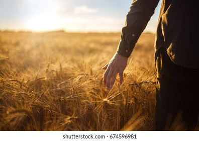 A man with his back to the viewer in a field of wheat touched by the hand of spikes in the sunset light.. Wheat sprouts in a farmer's hand.Farmer Walking Through Field Checking Wheat Crop