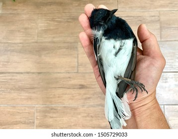 A man hold Magpie Bird in his hand after Magpie Bird dead, Magpie bird killed by cat, most of Magpie birds in nature are Predator of cat.