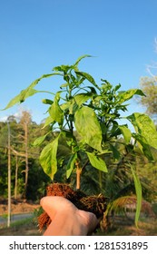 A man hold the pepper plant that have been infected with the disease Chilli mosaic virus (CMV) is common disease of chilli.