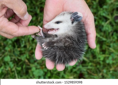 A man holding a baby opossum (Didelphimorphia) in an outstretched hand over a background of green grass. Opossums are the only marsupial living in North America.