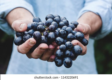 Man Holding Black Grapes, Closeup