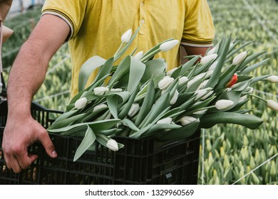 A man holding a bouquet of tulips grown in a greenhouse. Spring flowers and floriculture.