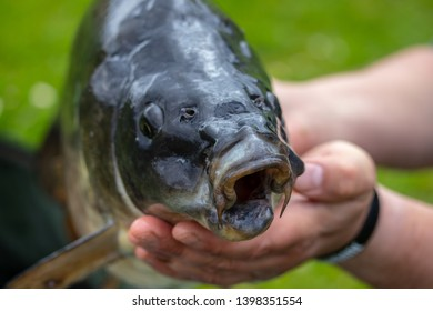 Man holding a carp. Closeup on the carp mouth.Carp-freshwater fish,typically with barbels around the mouth.The carp is queen of rivers.