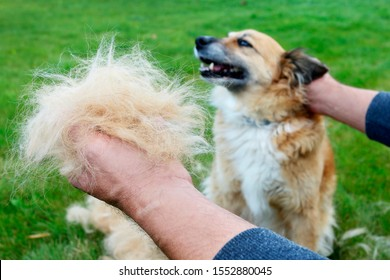 The man is holding a clump of dog fur. The dog sheds his hair (moulting), and the guardian combs it.