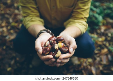 Man holding fresh Chestnuts picked from the forest floor