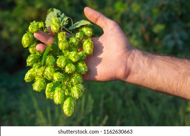 Man holding fresh hop in his hand