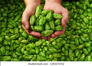 Man holding green hop cones.Craft beer ingredients  at a brewery. Copy  space.