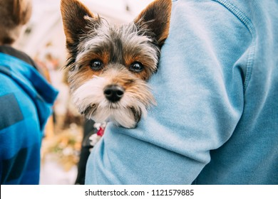 Man Holding In Hands Small Funny Cute Yorkshire Terrier Dog. Curious Looking In Camera.