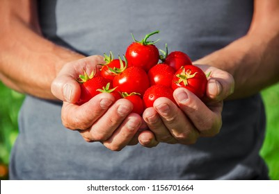 A man is holding homemade tomatoes in his hands. selective focus. summer.