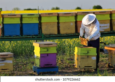 Man holding a honeycomb full of bees close to a hives of bees in the apiary. Beekeeper in protective workwear inspecting frame at apiary, working collect honey. Beekeeping concept