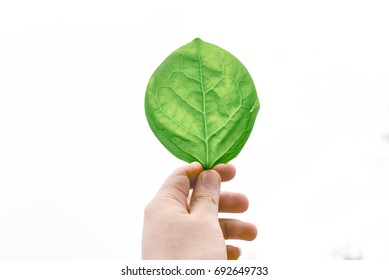 A man holding a leaf isolated. hand holding a green leaf on white background. leaf from a tree in his hand on a white background. Green leaf on white background. Natural background.