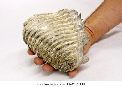 Man holding a Mammoth Elephant tooth fossil