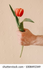 Man is holding one red tulip in hand