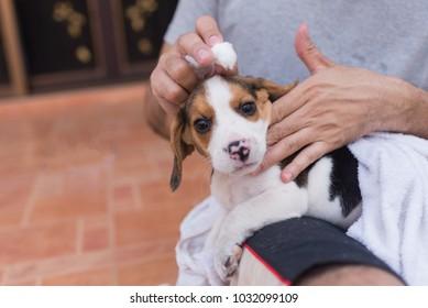 man holding puppy beagle
