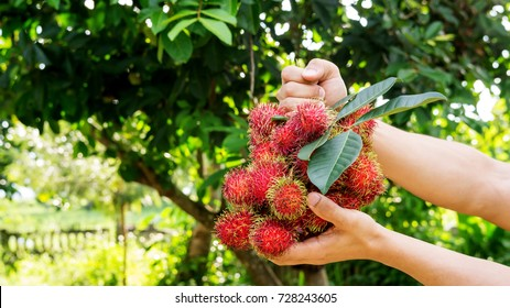 Man holding a rambutan fruit on a rambutan tree background.