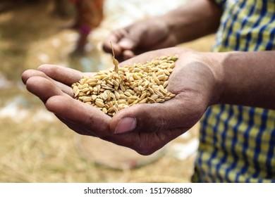 Man holding rice grains in harvest time. Nepal, Kathmandu valley