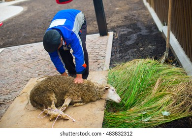 A Man holding a ritual sheep on muslim holiday Kurban Bairam