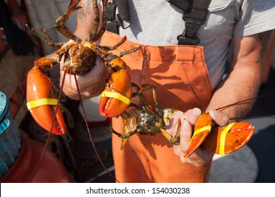 Man holding two yellow banded lobsters, Maine, USA