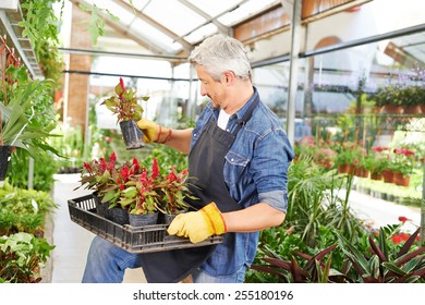 Man holding woolflower in a crate in a nursery shop