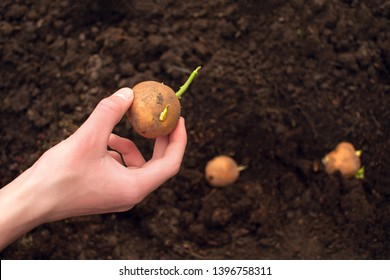 Man holds potato tuber in his hand. Plowed land and potato tubers. Agriculture and planting potatoes.