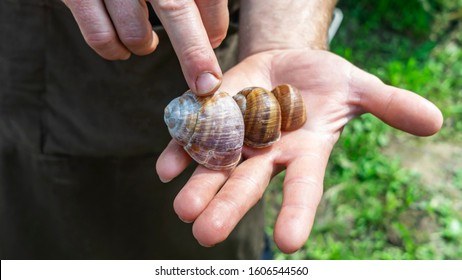 Man holds a snails in his hand. Helix Aspersa Muller, Maxima Snail, Organic Farming, Snail Farming