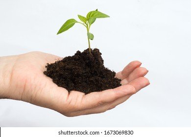 Man holds a sprout in a palm on a white background