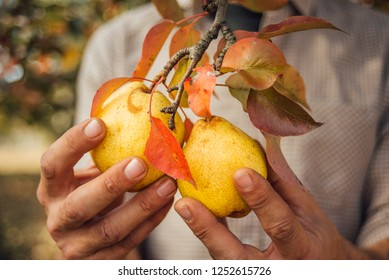 Man holds two yellow  pears