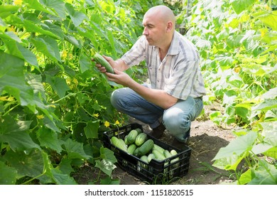 Man  horticulturist picking  cucumbers to crate in  hothouse indoors