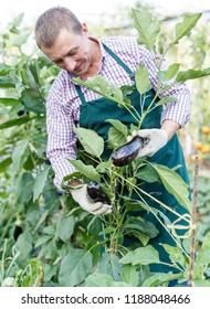 Man horticulturist working with eggplants in sunny garden outdoor