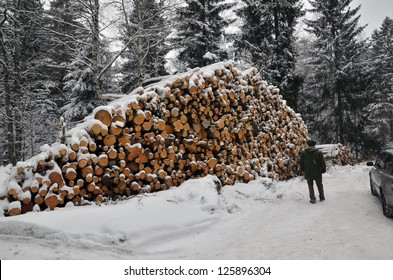 Man inspecting a big timber stack in forest at wintertime