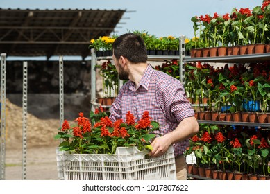 Man loads trays of flowers on truck for selling in greenhouse