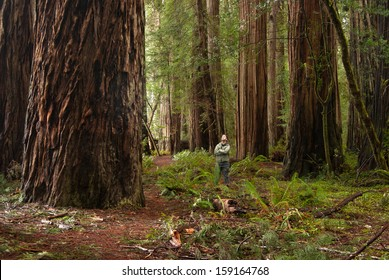 A Man Looks up at a Redwood Tree in the Stout Grove of Jedediah Smith Redwoods State Park.