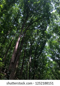 Man Made Forest Philippines - Nature View Backdrop