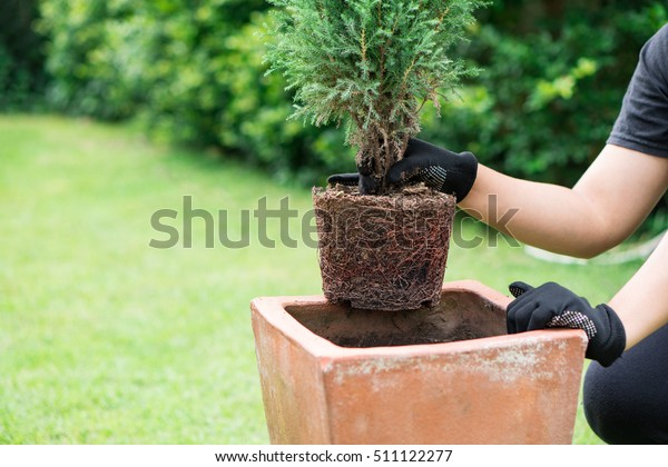 a man moves pine plant to new bigger pot, garden backyard background