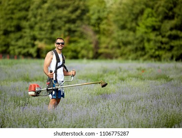 Man mowing among lavender rows with a brush cutter