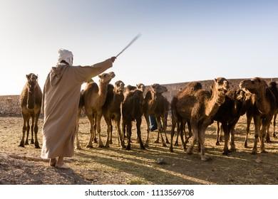 Man (not recognizable) direct Camels (dromedaries) at camel market, Guelmim, Morocco