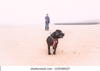 A man on a beach in winter at low tide with a black dog who is wearing a harness and using an extendable lead. It is very misty, foggy.