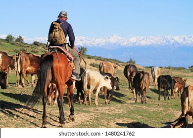 Man on a horse leading a herd of cows in north of Kyrgyzstan mountains (Tian Shan range and China at the horizon), Kyrgyzstan, Central Asia