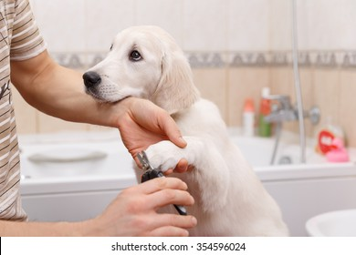 Man owner is making manicure of retriever puppy after shower