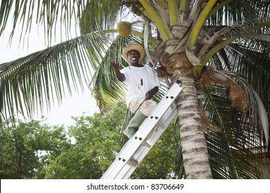 man up a palm tree tossing a coconut nut down