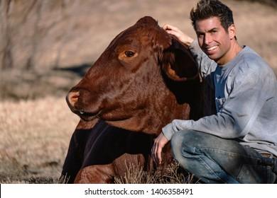 Man with pet Santa Gertrudis cow in rural farm pasture.