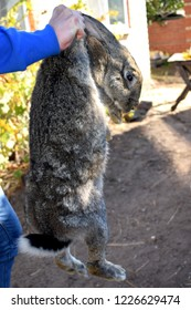 Man petting the rabbit. The Flemish Giant rabbit is a very large breed of domestic rabbit, and is normally the largest breed of the species.