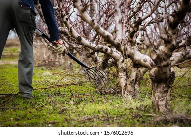 Man picking branches under freshly pruned fruit trees in winter. Farmer with a Pitch fork