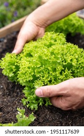 Man picking or harvesting a fresh lettuce or lollo rosso salad, gardening and farming at home