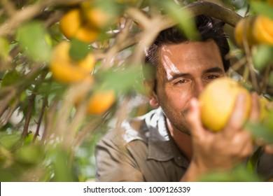 Man picking orange
