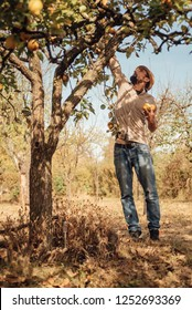 Man picking organic yellow pears