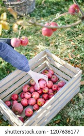 man is picking red apples from trees and put it into wooden box