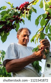 Man picking red cherries.